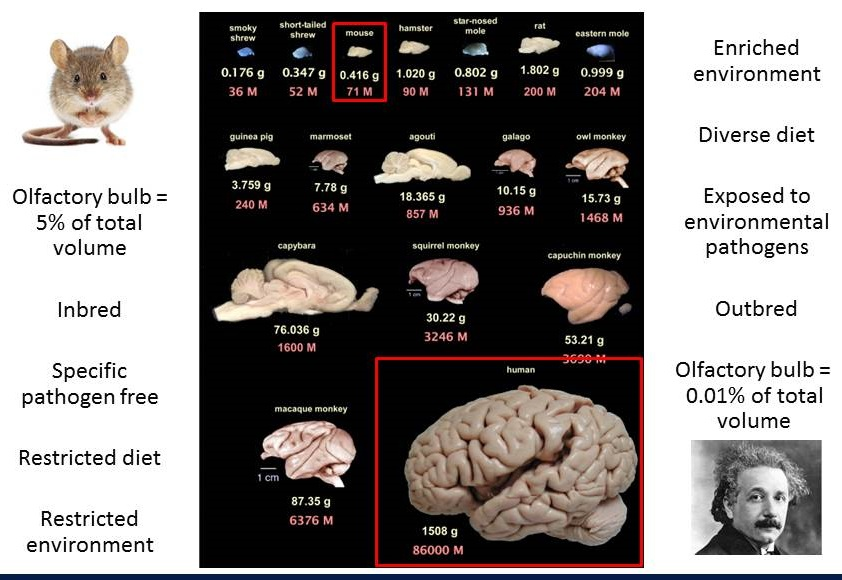 Complicated diagram showing comparisons of mice and human brains. Listen to session video for explanation.