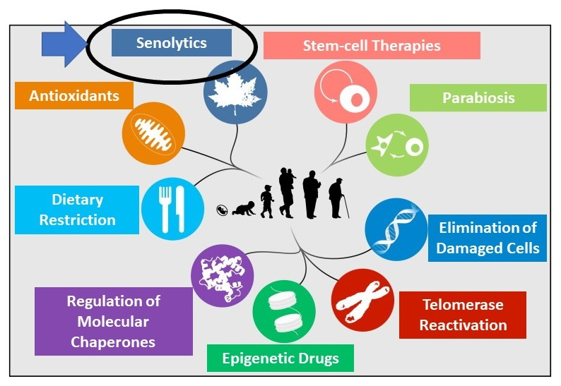 Illustration of Interventions: Senolytics, Stem-cell Therapies, Parabiosis, Elimination of Damaged Cell, Telomerase Reactivation, Epigenetic Drugs, Regulation of Molecular				 Chaperones, Dietary Restriction, Antioxidants.