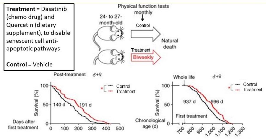Illustration of Senolytics Lifespan Trial in Mice.